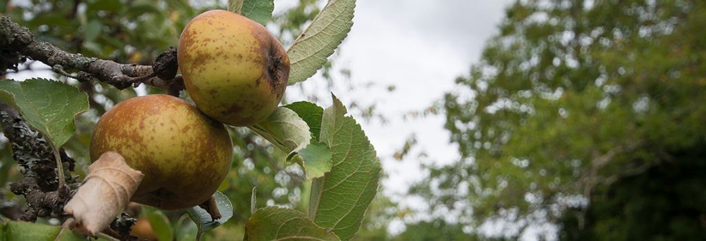 secheresse-pommes